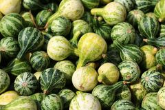 Many green pumpkins. The picture shows many green little pumpkins stock images