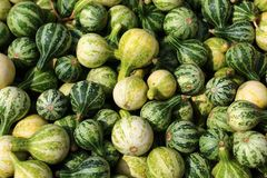 Many green pumpkins. The picture shows many green little pumpkins royalty free stock photo