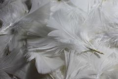 White feathers. The picture shows many white feathers stock photography