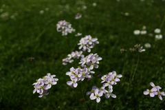 Meadow with cuckoo flowers royalty free stock photos