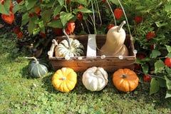 Pumpkins in a basket stock image