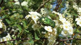 Rose chafer in the snowberry bush. The picture shows a rose chafer in the snowberry bush stock footage