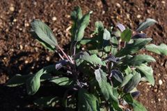 Sage in the garden stock image
