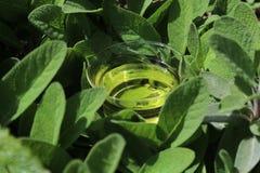 Sage tea in sage leaves stock photos