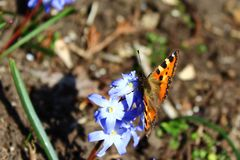 Small tortoiseshell on glory of the snow royalty free stock image