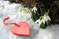 Snowdrops with a ladybird and a red heart royalty free stock image