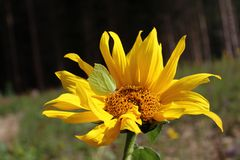 Sunflower with a brimstone butterfly royalty free stock image