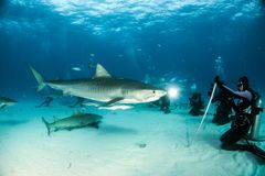 Tiger shark at Tigerbeach, Bahamas stock images