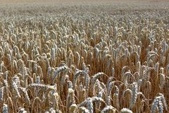 Wheat field. The picture shows a wheat field in the summer royalty free stock photo