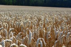 Wheat field. The picture shows a wheat field in the summer stock photography