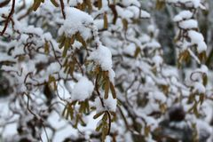 Willow in the winter. The picture shows a willow in the winter stock photo