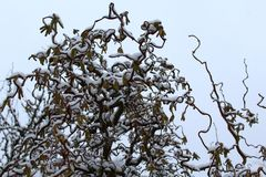 Willow in the winter. The picture shows a willow in the winter royalty free stock photos