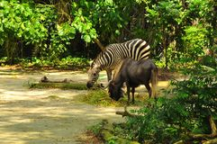 A zebra and a donkey in Singapore Zoo. The picture shows a zebra and a donkey in the Singapore Zoo , bonding with each other with love, while soaking in a pool Stock Photo