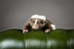 Picture of a Skunk Stock Photos