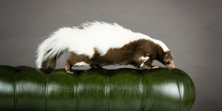 Picture of a skunk. Walking on the back of a green chair royalty free stock images