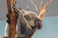 Koala bear. Picture of a sleeping koala bear stock photography