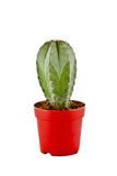 Picture of a small cactus in a pot Royalty Free Stock Photos