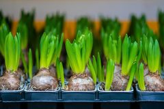 Picture of small colorful tulips at the street Swedish market royalty free stock images