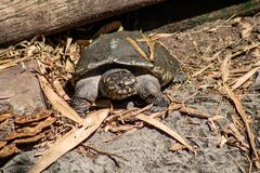 Gopher tortoise. Picture of a small gopher tortoise stock photo