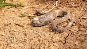 Snake on the dry soil. Picture of snake on the dry soil stock photos