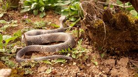 Snake on the dry soil. Picture of snake on the dry soil royalty free stock photos