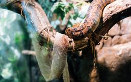 Picture of snake and its shedded skin on tree Royalty Free Stock Images