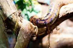 Picture of snake and its shedded skin hanging on tree Stock Images