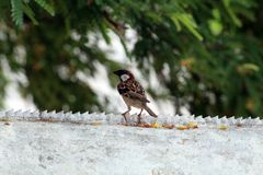Sparrow on Boundary Wall. Picture of Sparrow sitting on Boundary wall royalty free stock photos