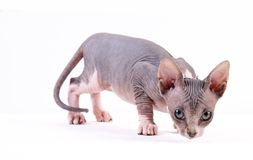 Picture of Sphynx cat on white background Stock Photography