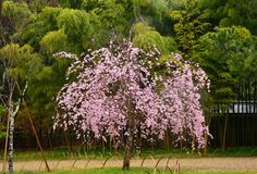 Japanese garden`s weeping cherry tree, Kyoto Japan. Picture of spring beauty of weeping cherry blossom and bamboo grove background, Kyoto Japan royalty free stock images