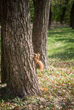 Picture of squirrel climbing the tree Royalty Free Stock Image