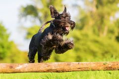 Standard schnauzer jumps over a wooden beam Royalty Free Stock Photography