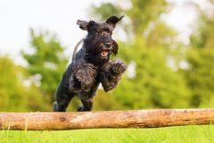 Standard schnauzer jumps over a wooden beam Royalty Free Stock Photo