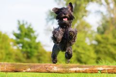 Standard schnauzer jumps over a wooden beam Royalty Free Stock Photos