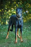 Doberman is lying on meadow stock photography