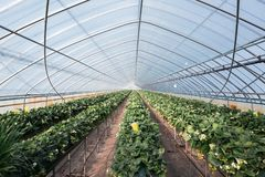 A picture of strawberry plants in a greenhouse. stock images