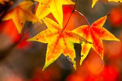 Picture style red maple leaves, golden autumn Stock Photos