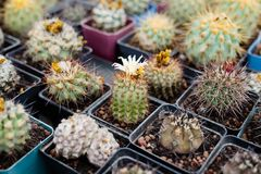 Collection of cactus. Picture of Succulent plants in the greenhouse royalty free stock image