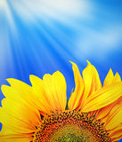 Picture of a sunflower against a clear blue sky Royalty Free Stock Photography