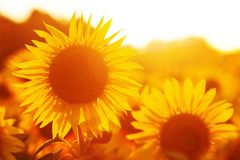 Sunflower field in evening backlight. Picture of a sunflower field in evening backlight Royalty Free Stock Images