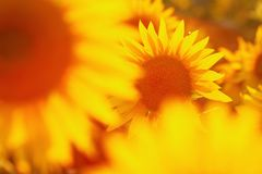 Sunflower field in evening backlight. Picture of a sunflower field in evening backlight Royalty Free Stock Photography
