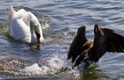 Picture of the swan chasing the Canada goose Royalty Free Stock Photo