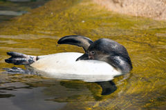 Picture of a swimming penguin Royalty Free Stock Images
