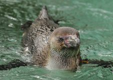 Picture a swimming Pinguin stock image