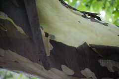 Picture of a sycamore tree shedding its bark, a natural process of mature trees. Stock Photos