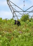 Black bear eating berries at hydro lines in Algonquin Park stock photo
