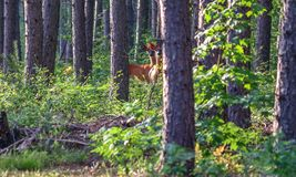 Two deer looking back at me royalty free stock photos