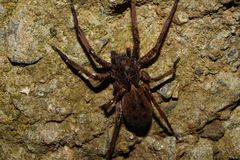 Awesome and very detailed spider picture. This picture taken in a Colombian forest in 2017 shows a brown spider  Araneae waiting for something to hunt ,the Royalty Free Stock Image