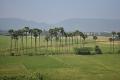 Palm tree plantation in  sequence  in center of farming. This Picture is taken from a field in india where paddy harvesting is vey popular. I have taken this Stock Photos