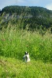 Adventurous and curious baby rabbit standin in front of a huge grassland royalty free stock photo